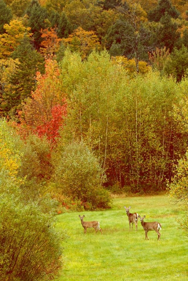 Deer in Vermont