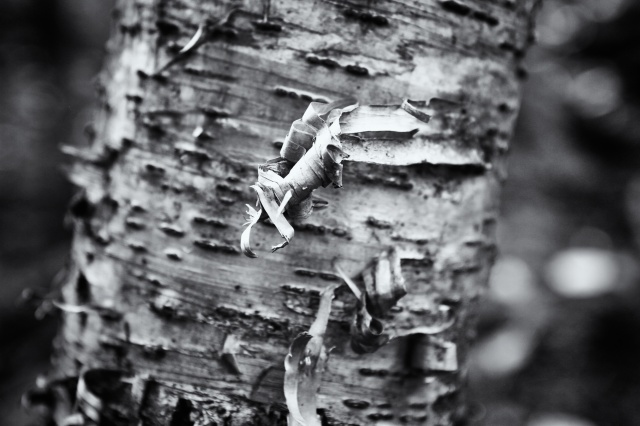 Birch Bark in Vermont