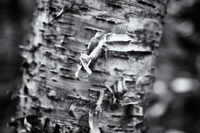 Birch Bark in Vermont