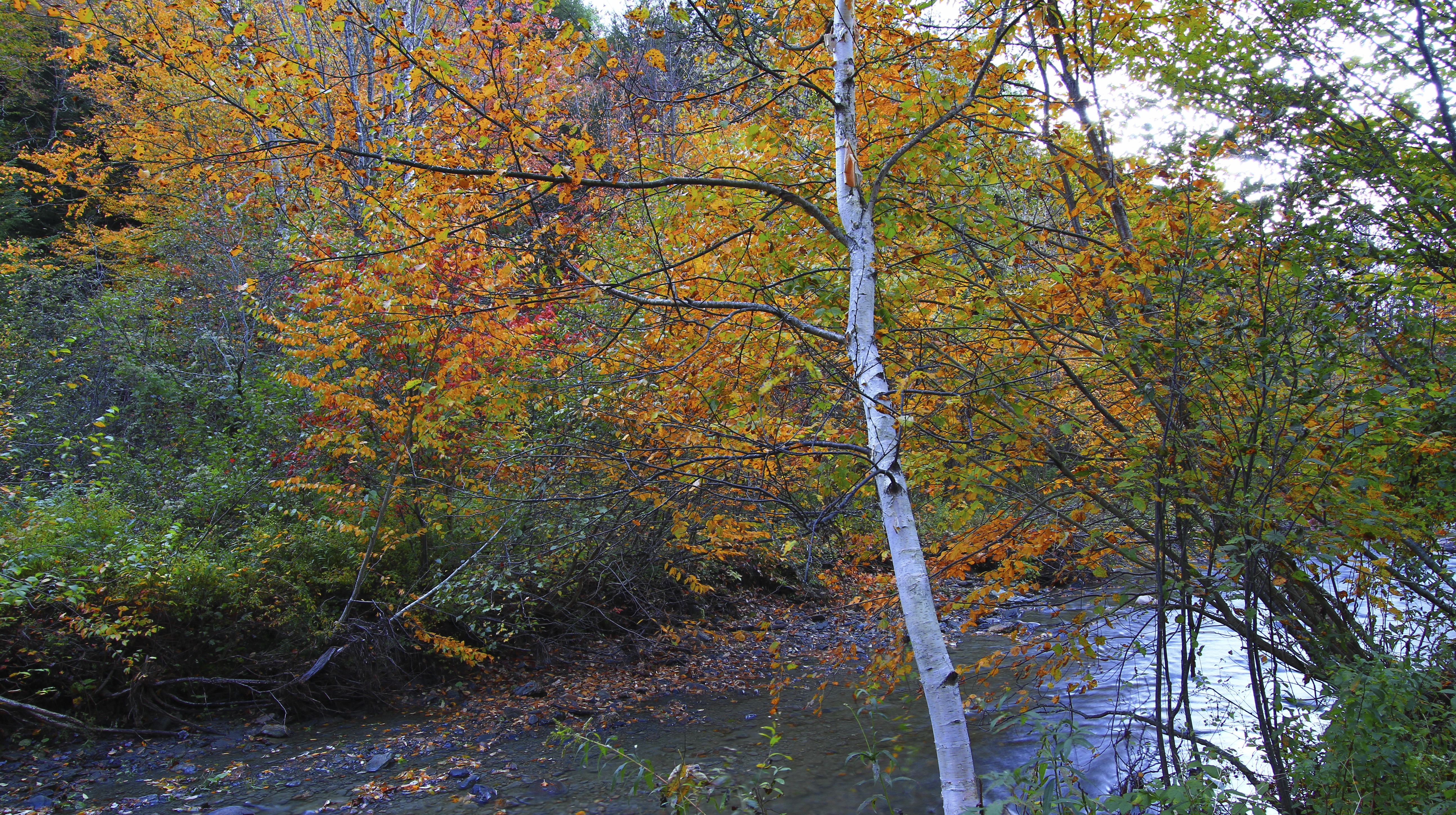 Vermont Brook and Birch