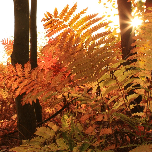 Fern in Morning Light