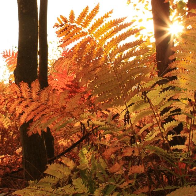 Fern in Morning Light