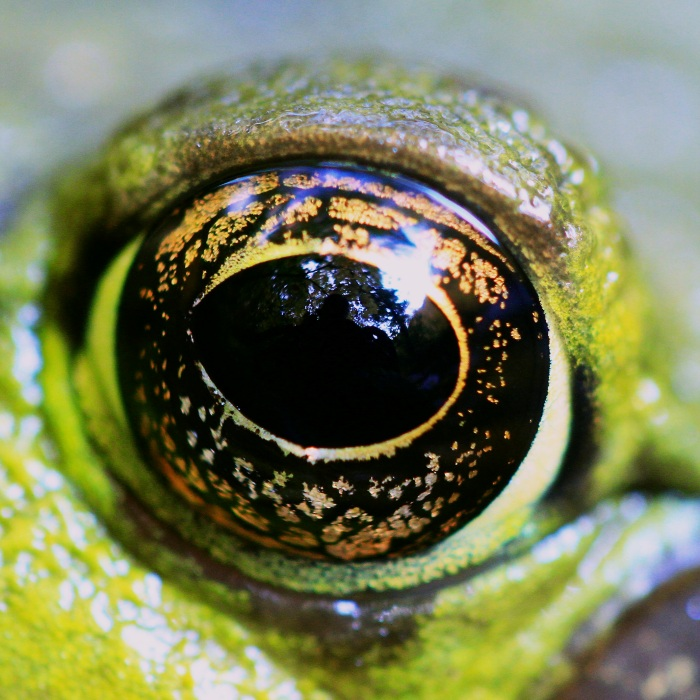 Frog Eye - Macro