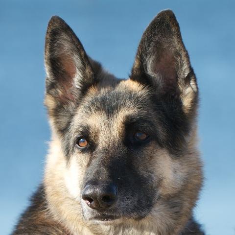 Skylark, retired Guide Dog for the Blind