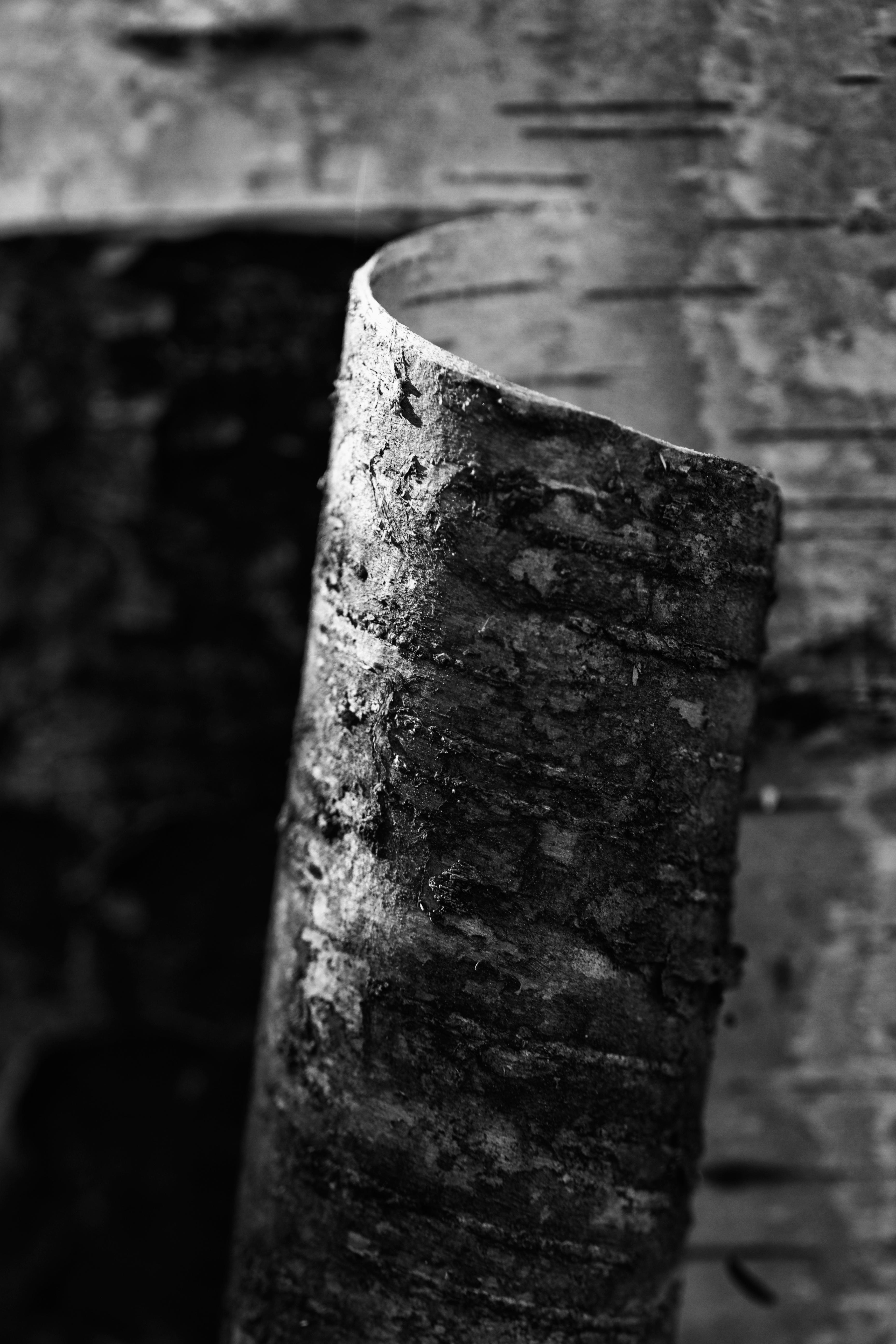 Curling bark