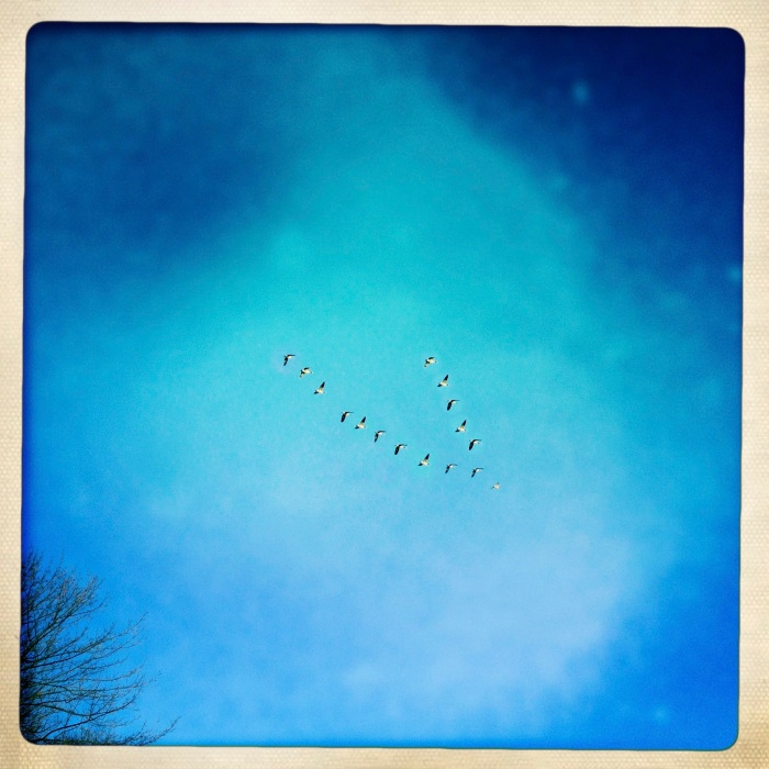 Geese heading home