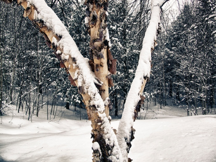 Snowy Birch Tree in Vermont