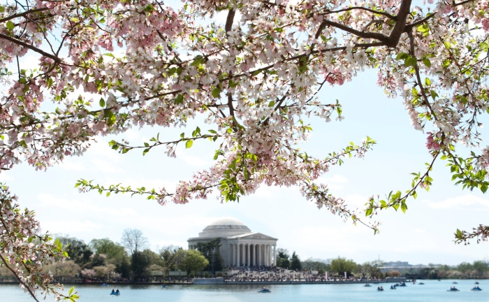 Jefferson Memorial and Cherry Blossoms