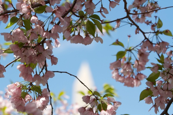 Cherry Blossoms and Washington Memorial