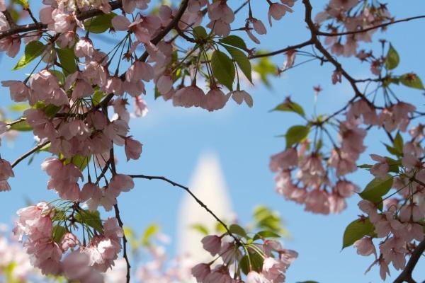 Cherry Blossoms and Washington Memorial