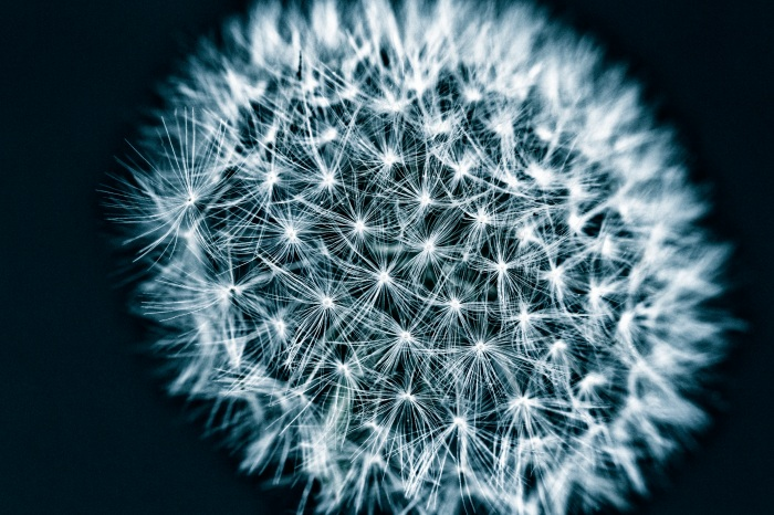 Dandelion in front of black background