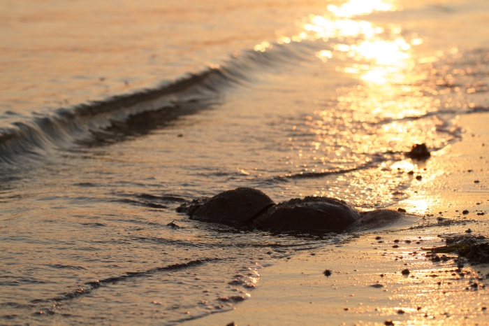 Horseshoe crabs at sunset