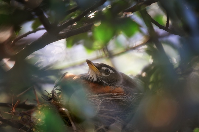 Robin in her nest