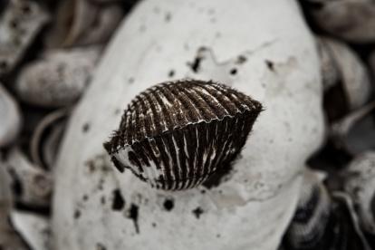 Shell on a half-shell