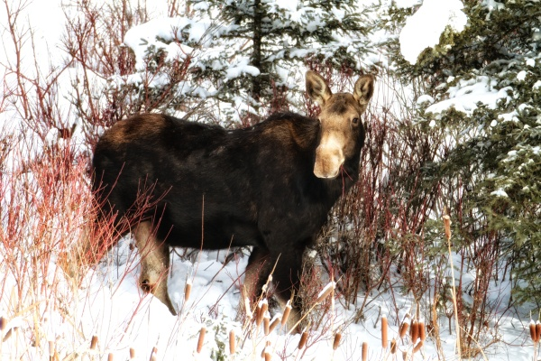 Moose eating