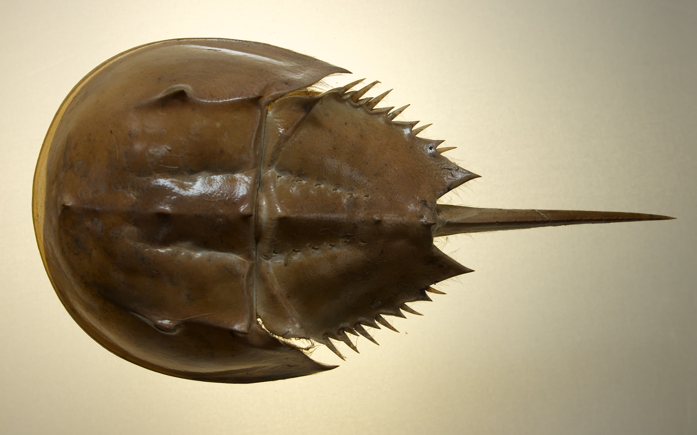 Horseshoe Crab Study | Snapshots For Sore Eyes