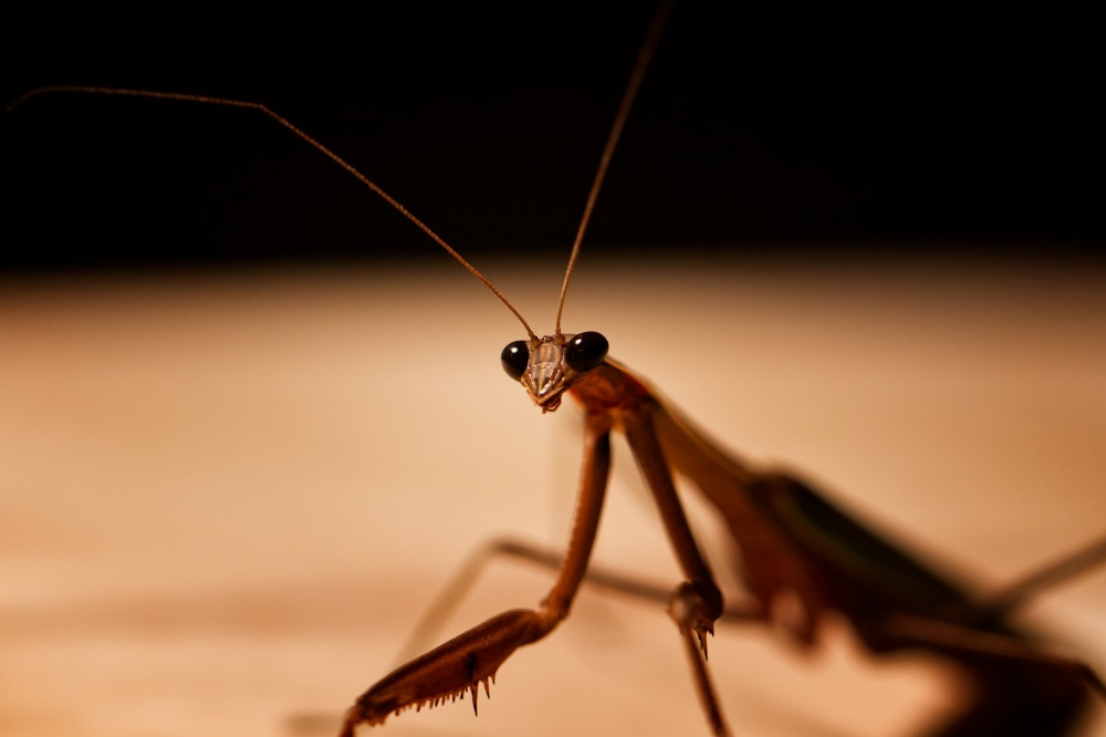 Praying Mantis staring at camera