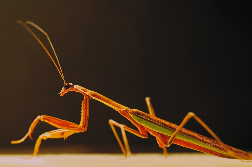 Praying Mantis profile