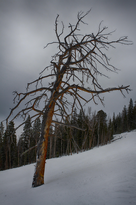 Bristlecone pine 1