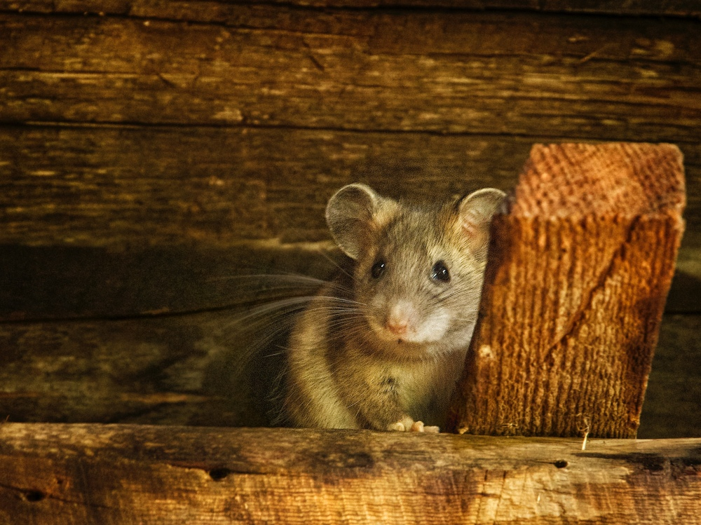 mouse under roof beams
