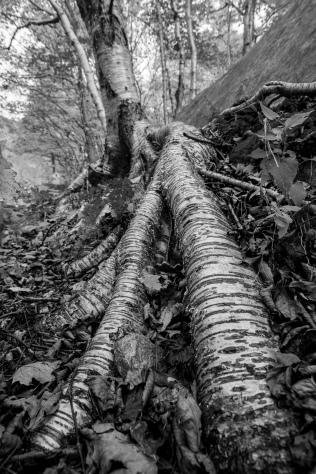 Vermont Tree Roots 1
