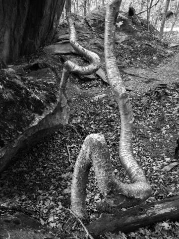 Vermont Tree Roots 3