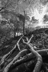Vermont Tree Roots 4