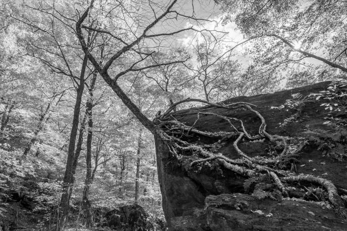 Vermont Tree Roots 5