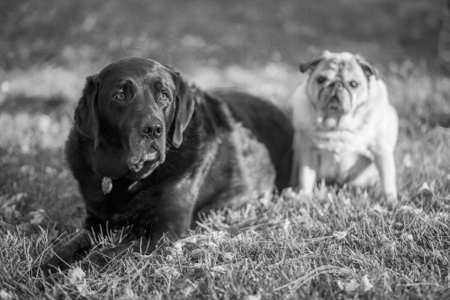 two dogs on the lawn