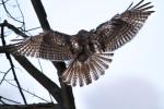 Osprey getting away