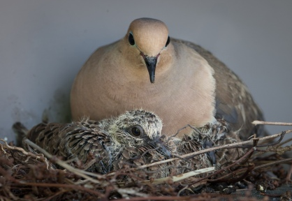 Dove with chick1