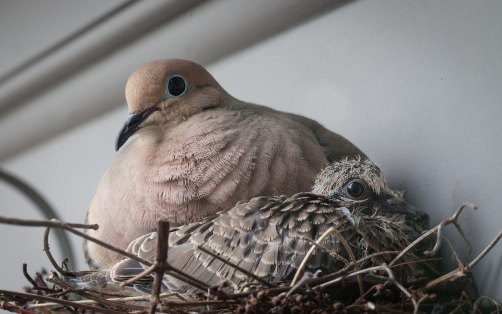 Dove with chick 2