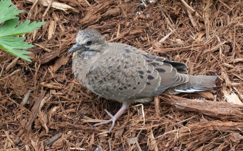 young dove on ground