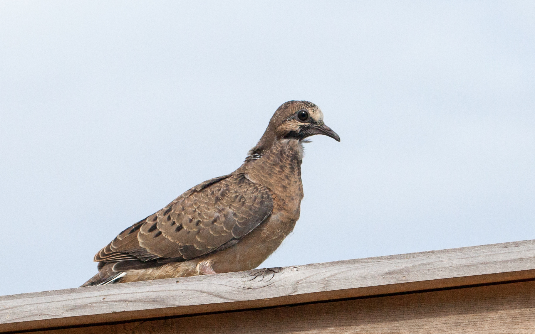 young dove on fence