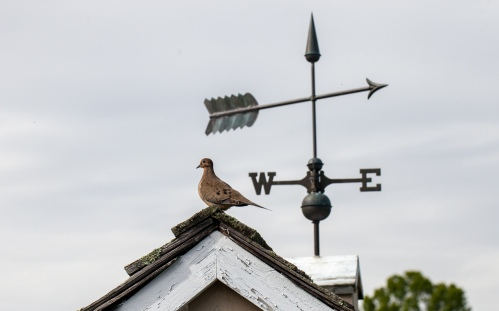 Dove and weathervane