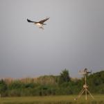 Osprey fishing 1