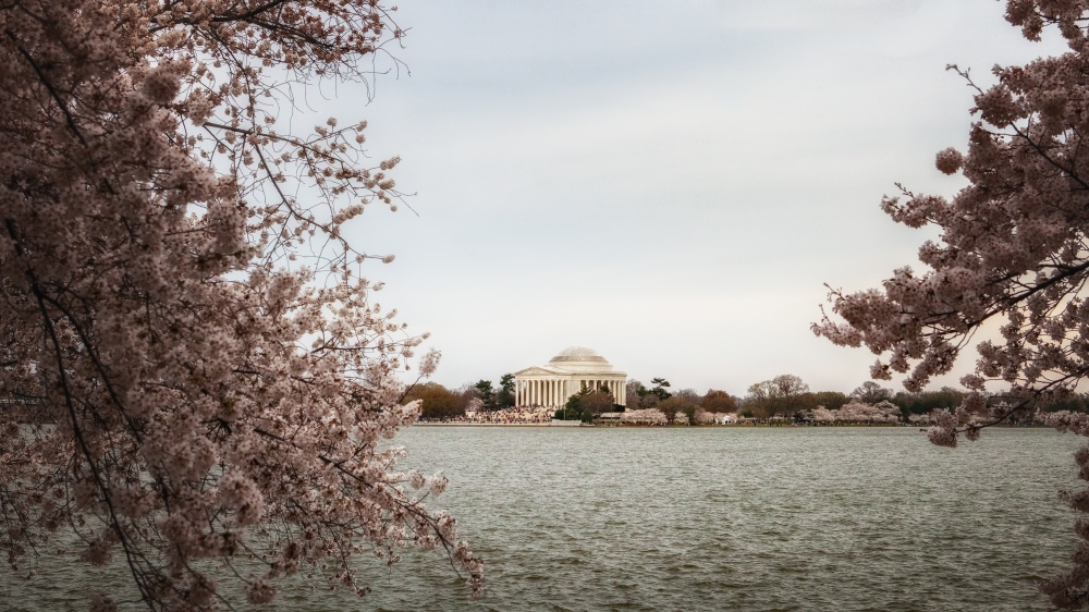Cherry blossoms and the Jefferson Memorial in Washington, DC